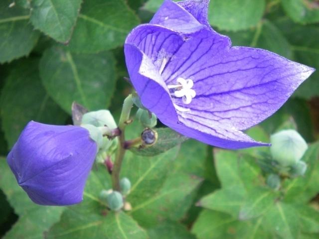 Bud & flower of Kikyō
