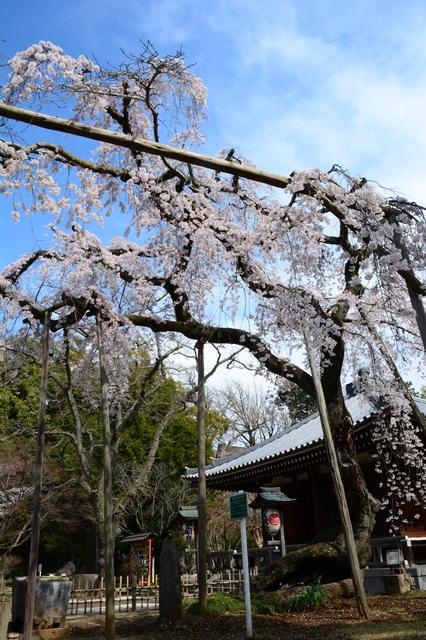 Shidare-zakura of Tōzen-ji Temple