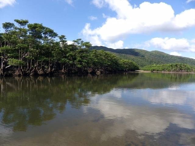 Mangrove forest of Iriomote Island