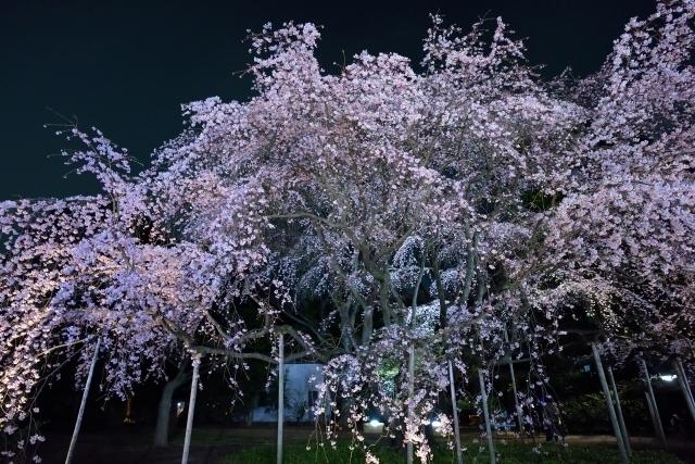 Shidare-zakura of Rikugien