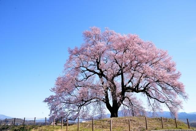 Wanizuka no Sakura