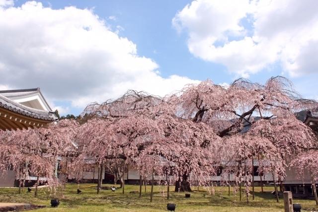 Shidare-zakura of Daigo-ji