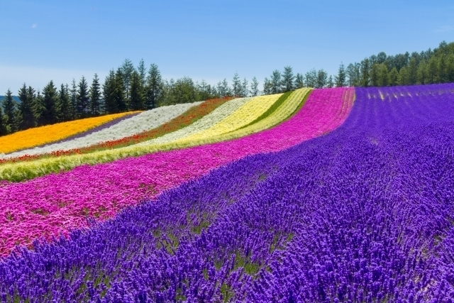 Flower fields in Furano