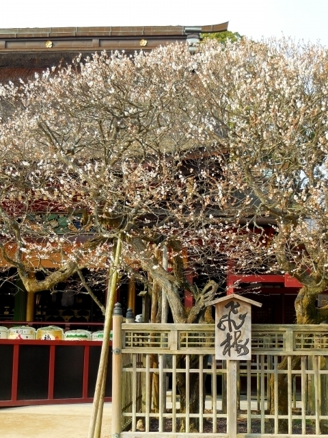 Tobiume at Dazaifu Tenmangū