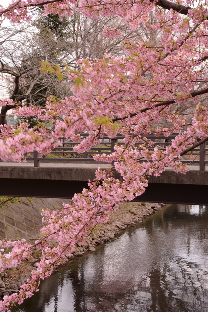 Kawazu-zakura at Matsudo City