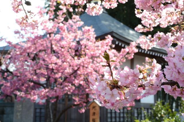 Kawazu-zakura at Hōrin-ji Temple