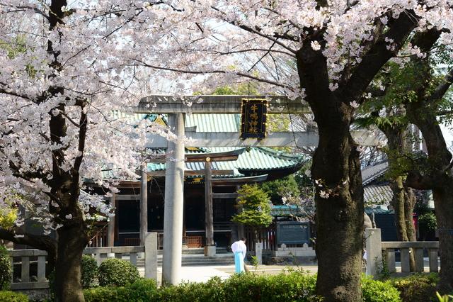 Somei-Yoshino at Ushijima Shrine