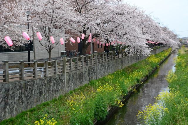 Somei-Yoshino with Nanohana along the Mama River