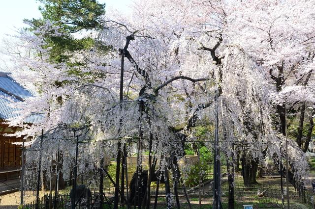 Shidare-zakura of Guhō-ji Temple