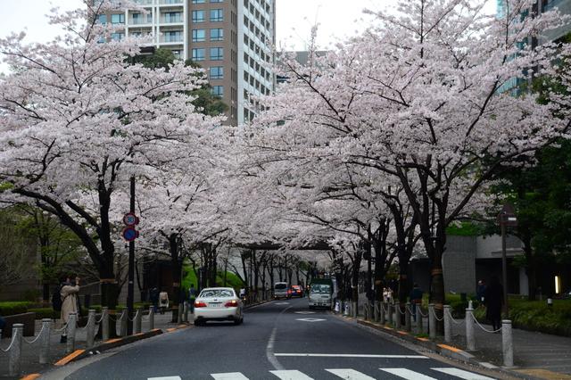 Somei-Yoshino at Akasaka