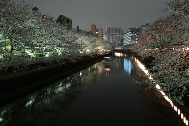 Yo-zakura along the Ōyoko River, photo taken from Ishijima Bridge