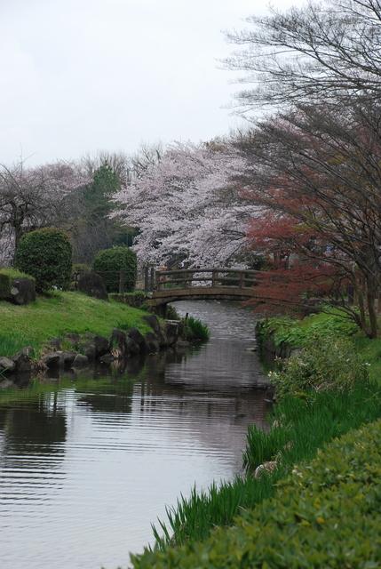 じゅんさい池 桜 (12).JPG
