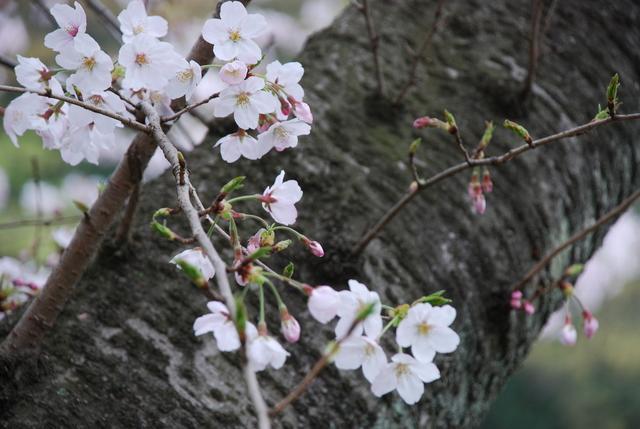 じゅんさい池 桜 (28).JPG