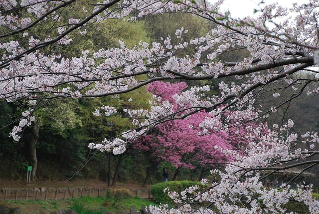 じゅんさい池 桜 (32).JPG