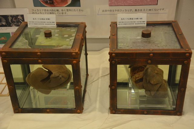 Specimen of Hachi's liver, heart and lung at Museum of Agriculture, University of Tokyo