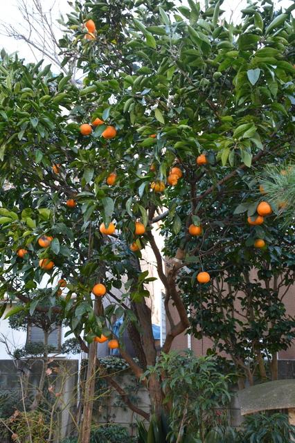 Mikan tree
