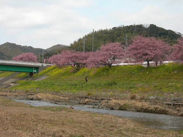 下賀茂温泉 河津桜 (10).JPG