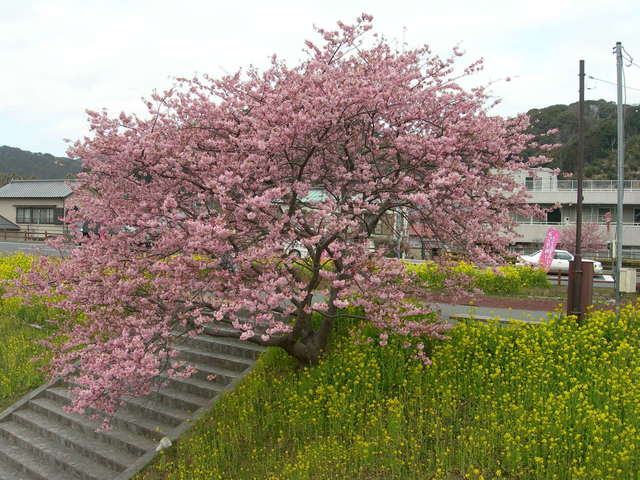 Kawazu-zakura at Shimogamo Hot Springg