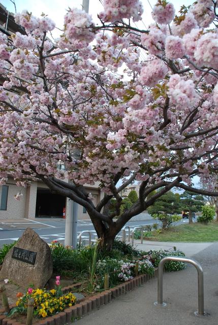 八重桜 (10).JPG