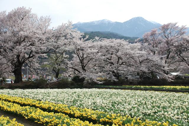 Sakura trees at Jissō-ji