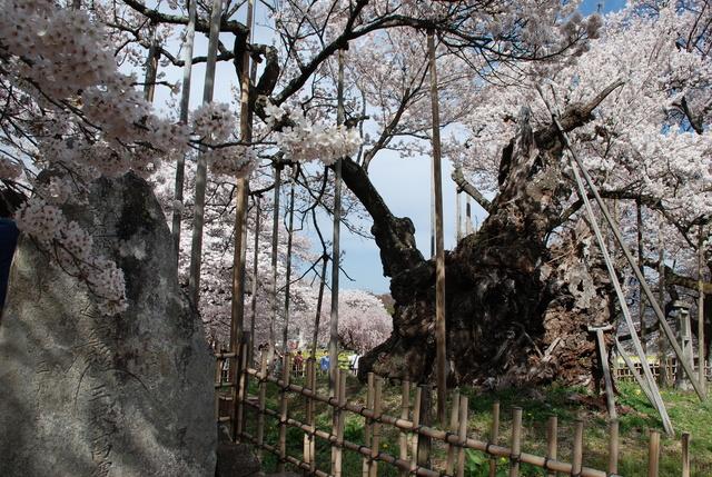 山高神代桜 (26).JPG