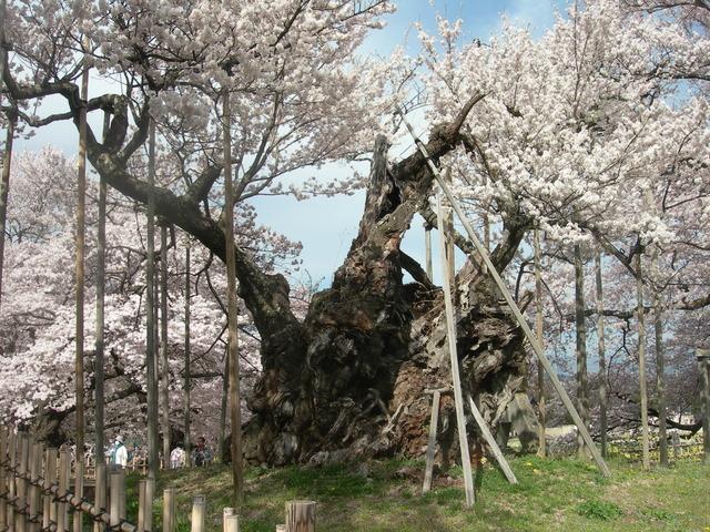 山高神代桜 (5).JPG