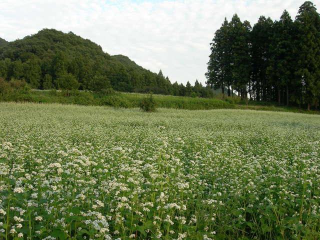 Soba flowers