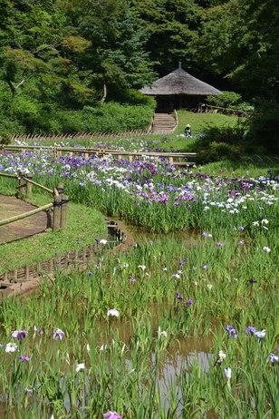 Shōbu garden at Meiji Shrine