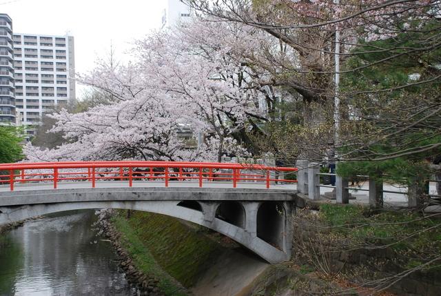 松戸神社  桜 (4).JPG