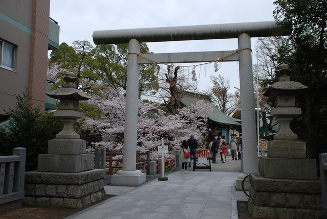 松戸神社  桜 (51).JPG