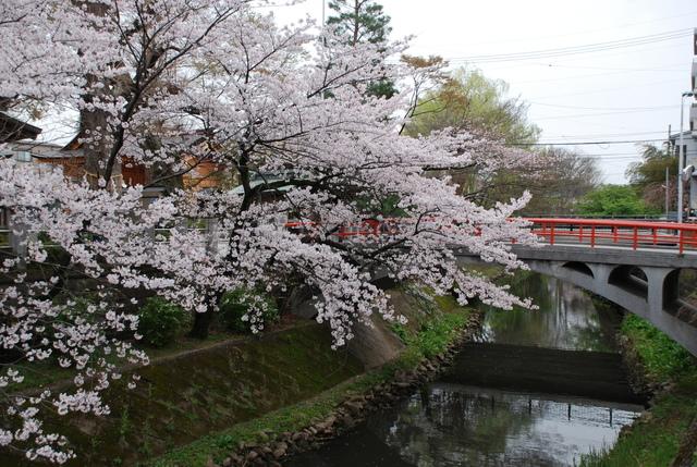 松戸神社  桜 (59).JPG