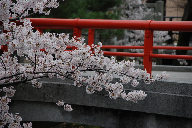 松戸神社  桜 (64).JPG