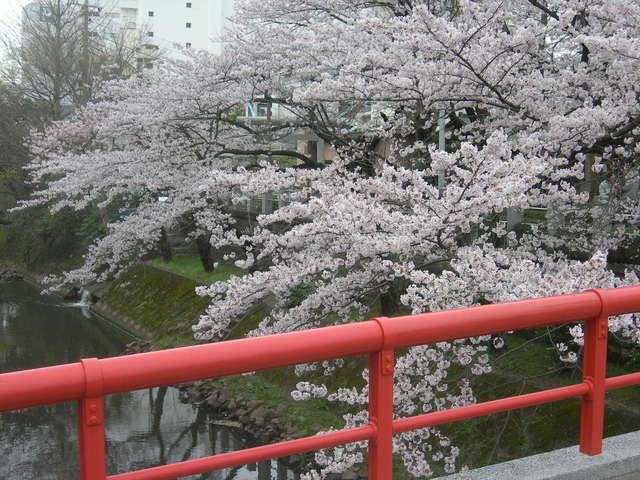松戸神社  桜 (72).JPG