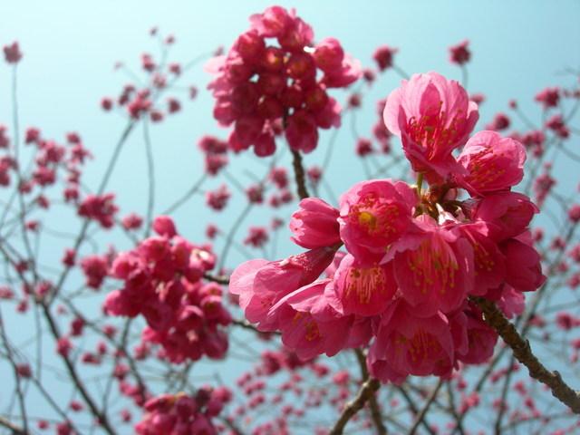 Kanhi-zakura at Kasiwanoha Park