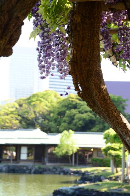Fuji at Hamarikyū Garden