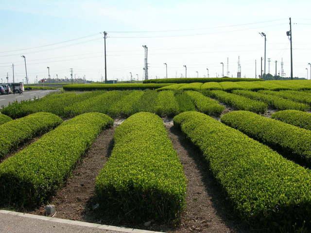 Makinohara tea plantations