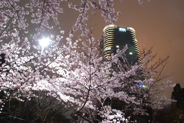 赤坂 桜 (11).JPG