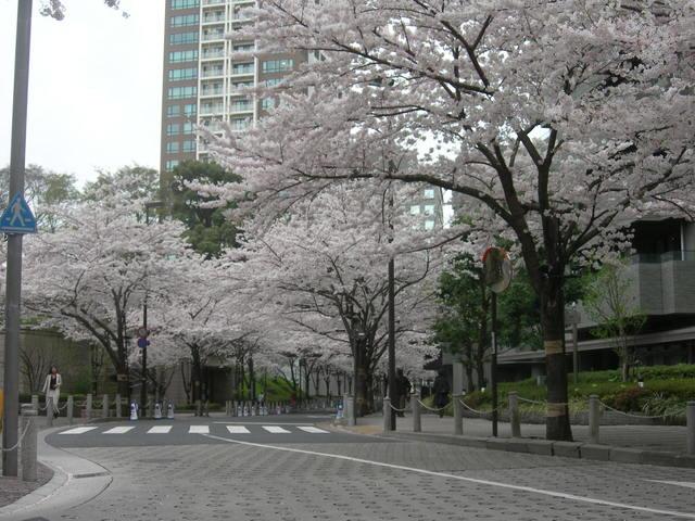 赤坂 桜 (1).JPG