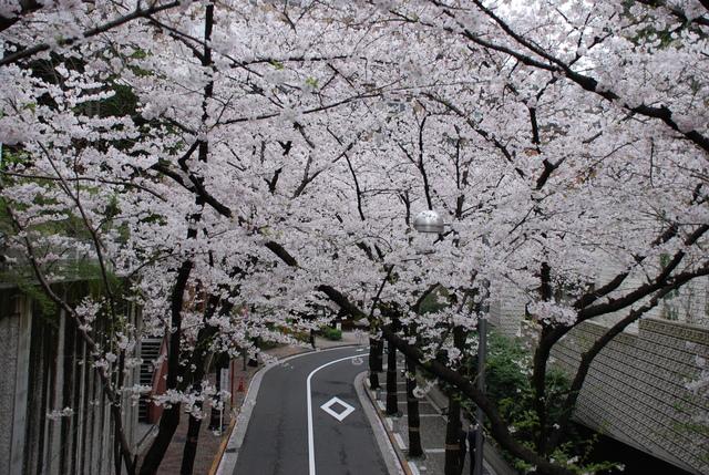 赤坂 桜 (19).JPG