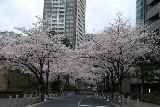 赤坂 桜 (29).JPG