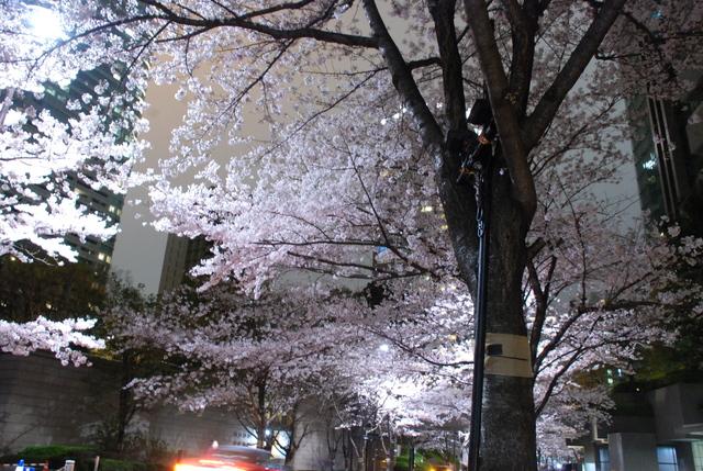 赤坂 桜 (8).JPG