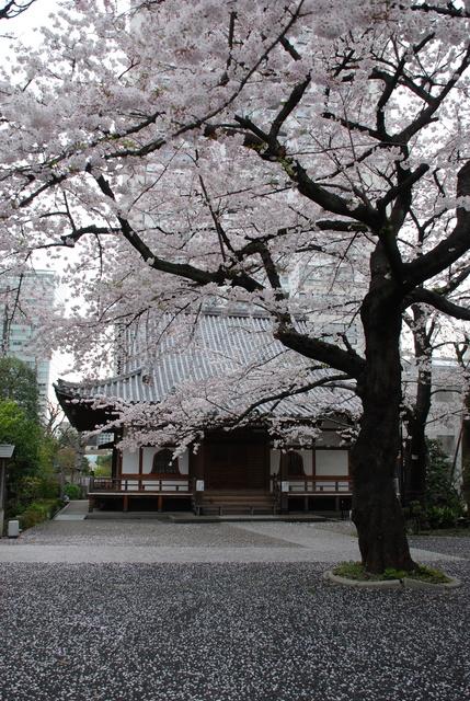 陽泉寺 桜 (5).JPG