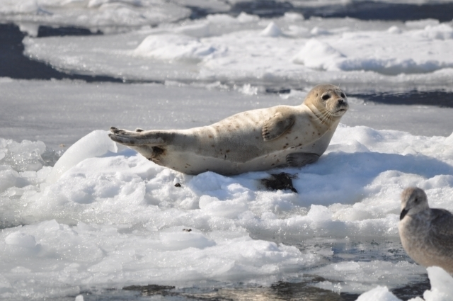 Seal on Ryūhyō